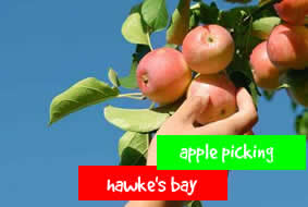Apple picking - Hawke's Bay