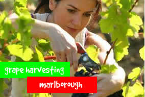 Grape harvesting - Marlborough